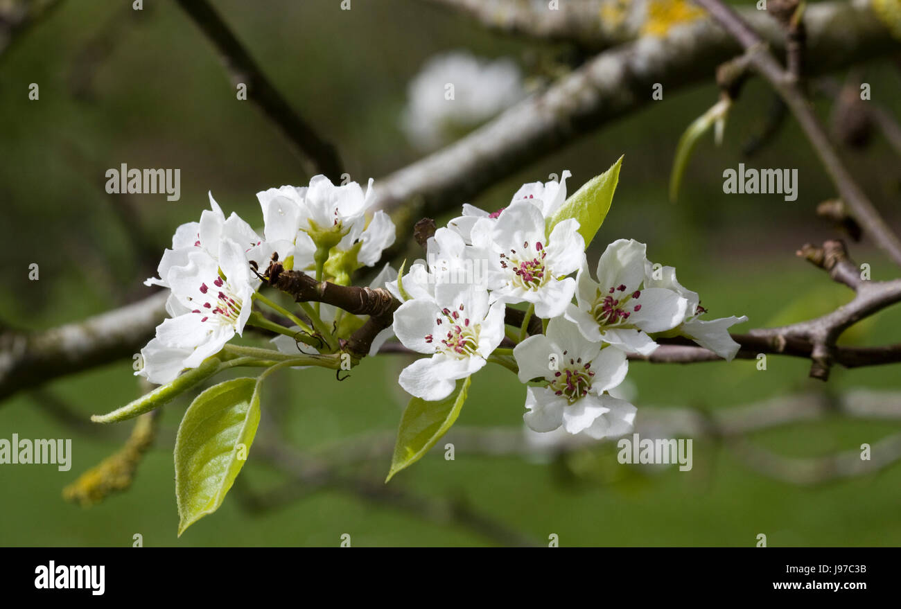 Hawthorn blossoming in the spring - Stock Image