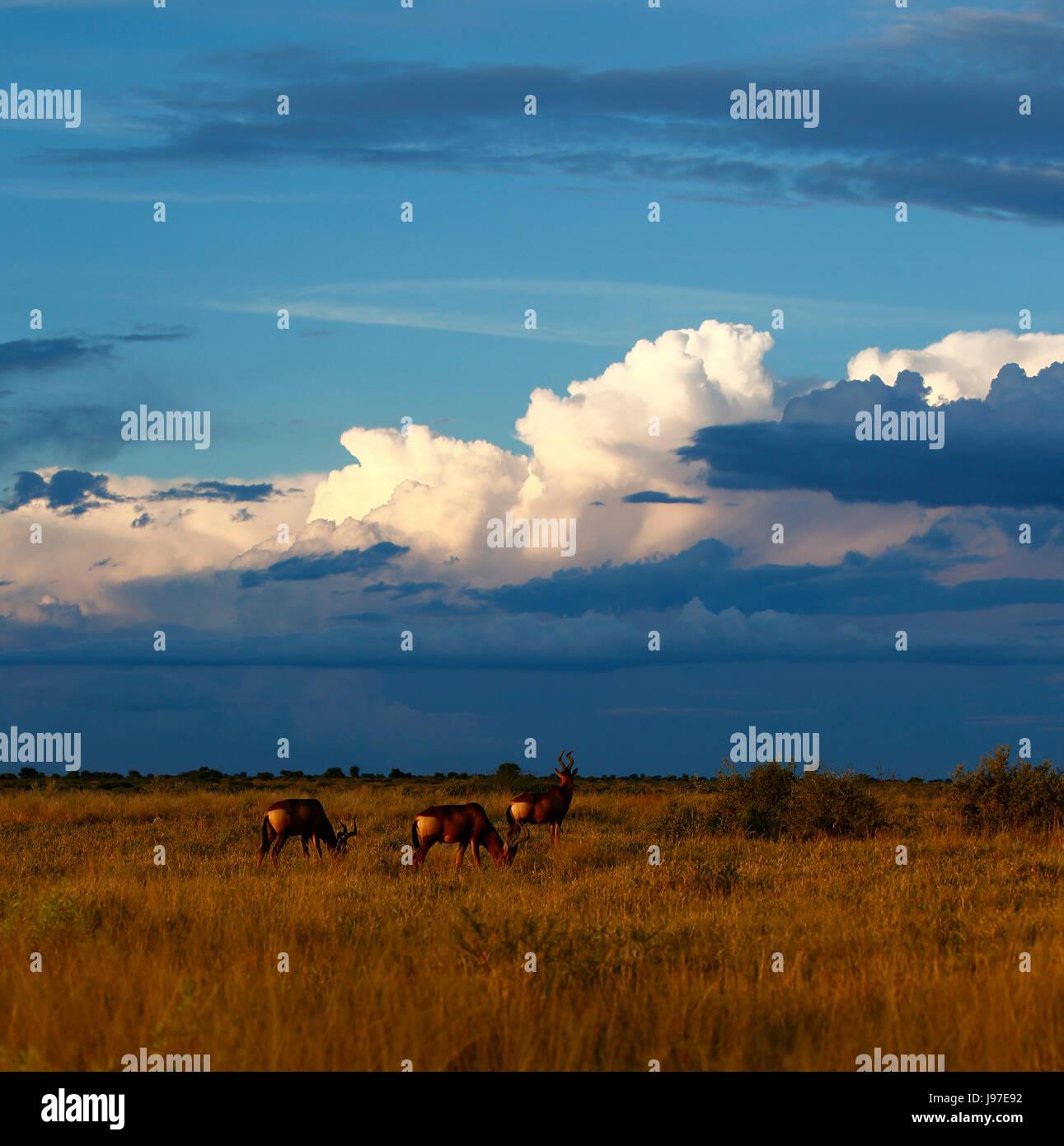 Herd of Red Hartebeest grazing the Central Kalahari Desert open plains - Stock Image