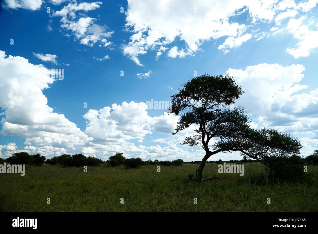 Beautiful landscape of the green Central Kalahari desert during the rainy season - Stock Image