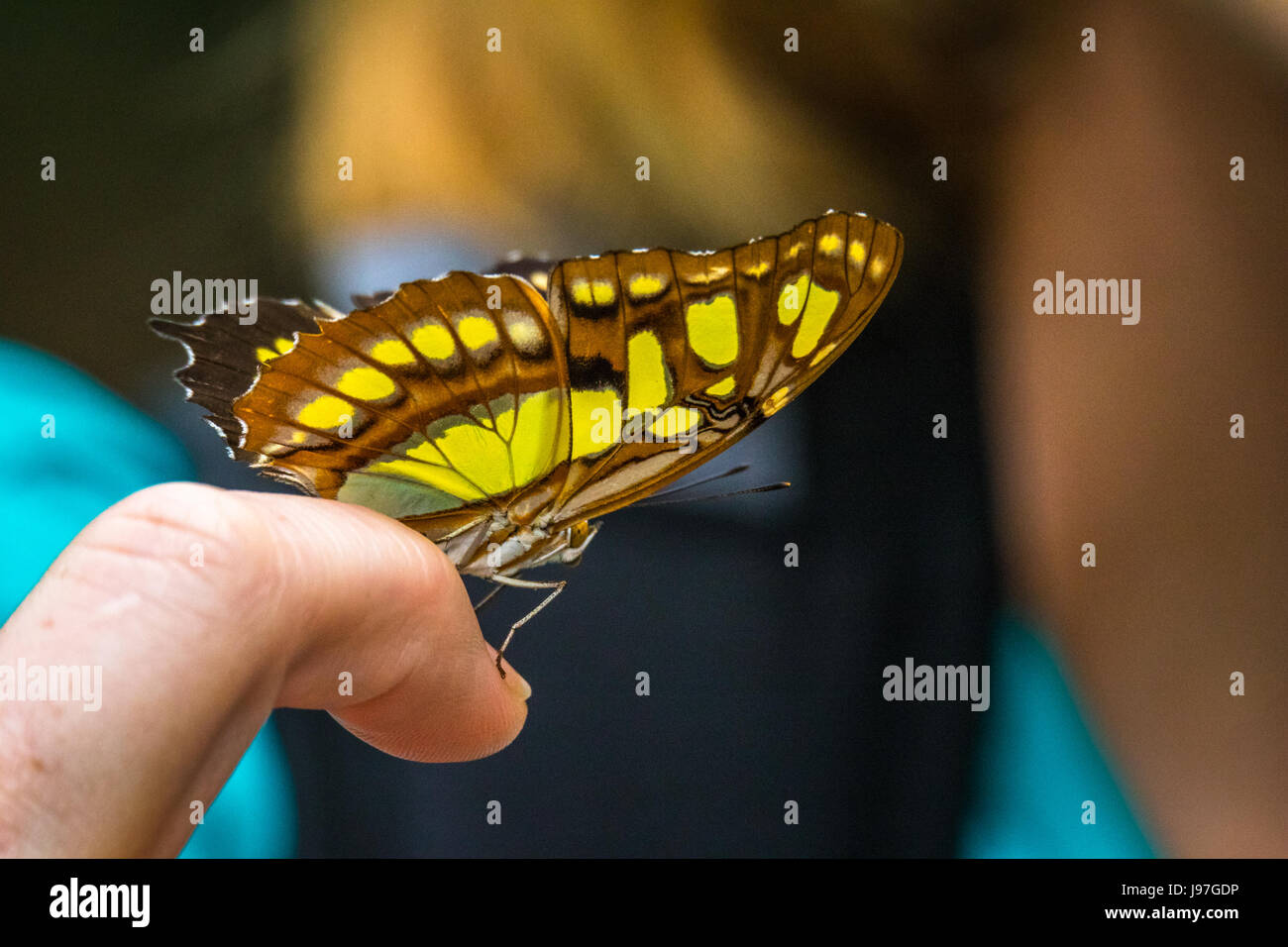 Close up of a brown and yellow butterfly on a human finger taken at the La Paz Waterfall Gardens in Costa Rica - Stock Image