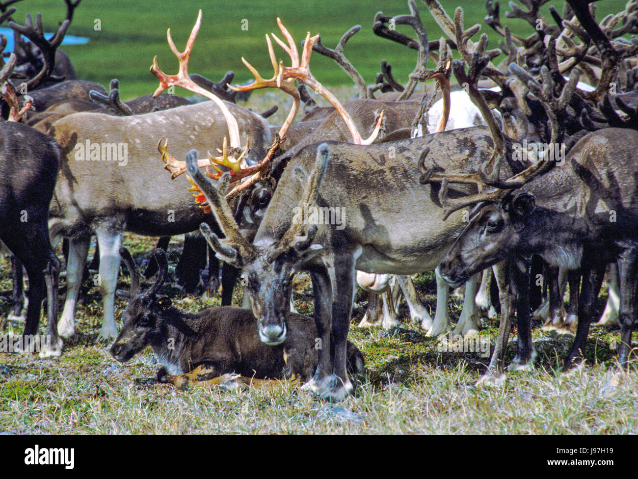 Nomadic Chukchi reindeer on the Chukchi or Chukotka Peninsula, in the Russian Far East. Stock Photo