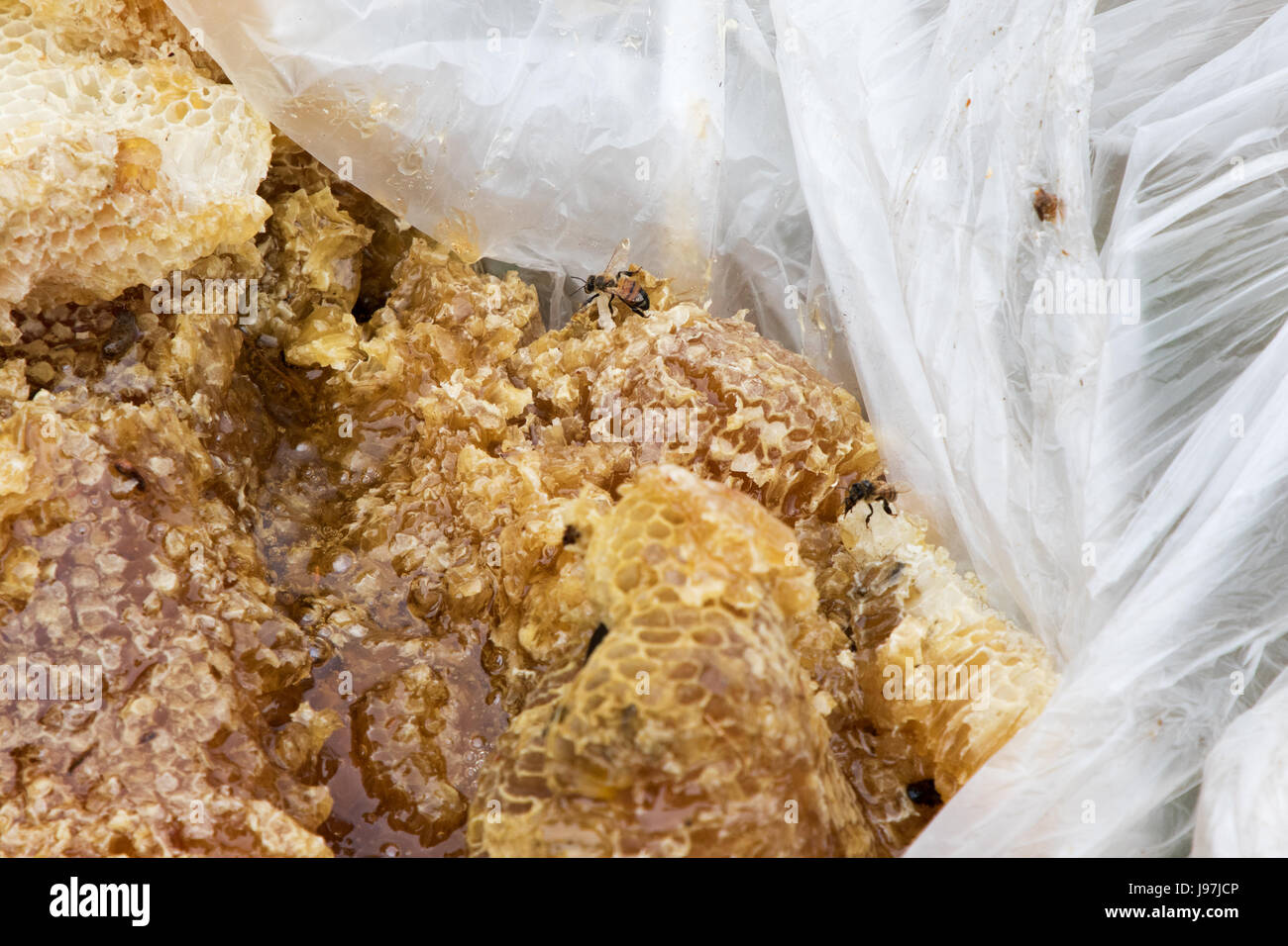 This a small honeycomb removed from the attic of a residential home in Los Angeles, California USA. - Stock Image