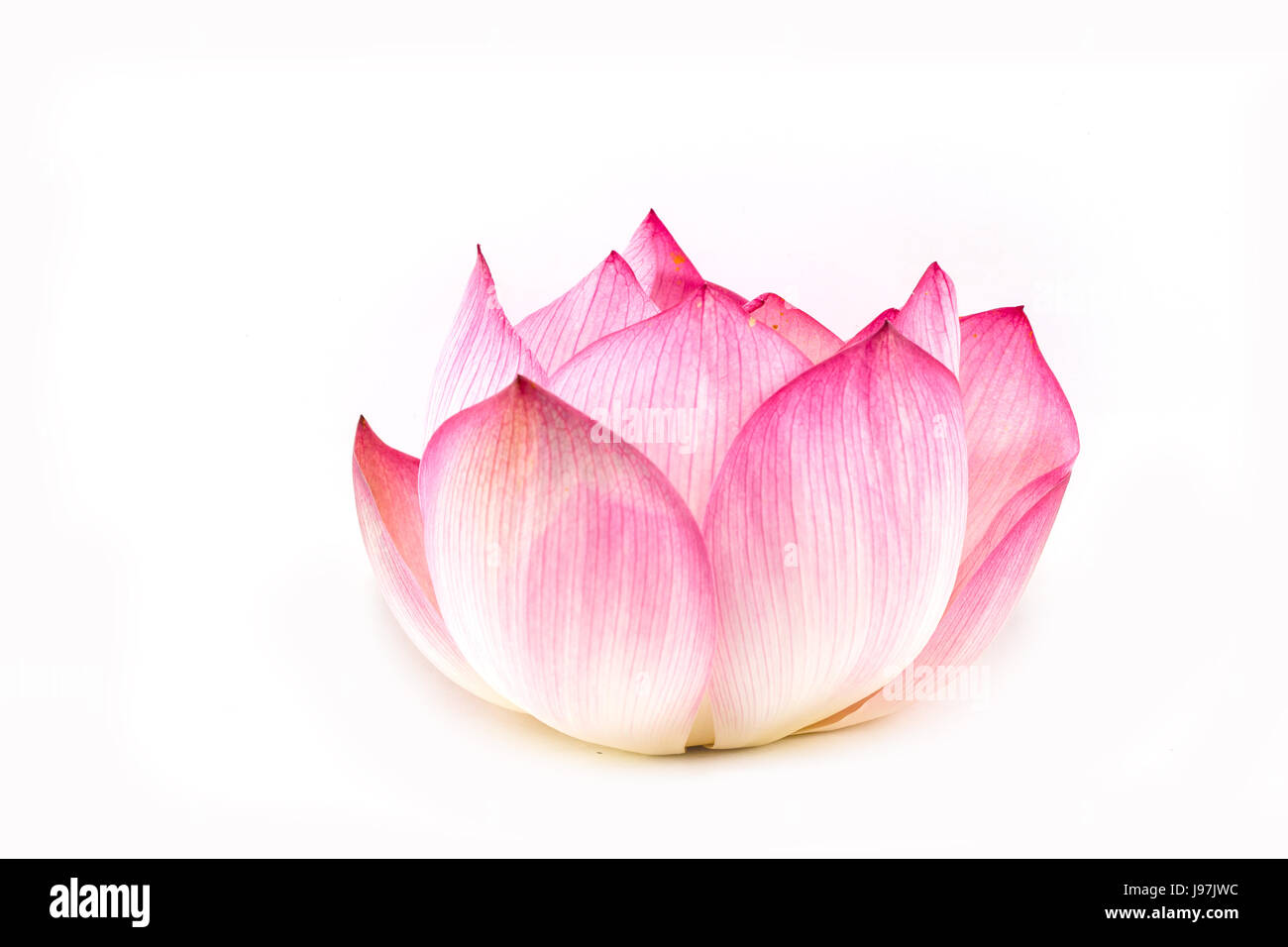 Lotus Flower Isolated On White Background Stock Photo 143383336 Alamy
