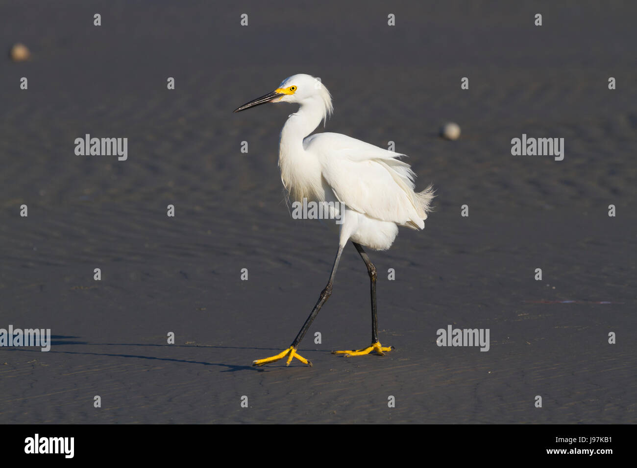 The snowy egret is fishing Stock Photo