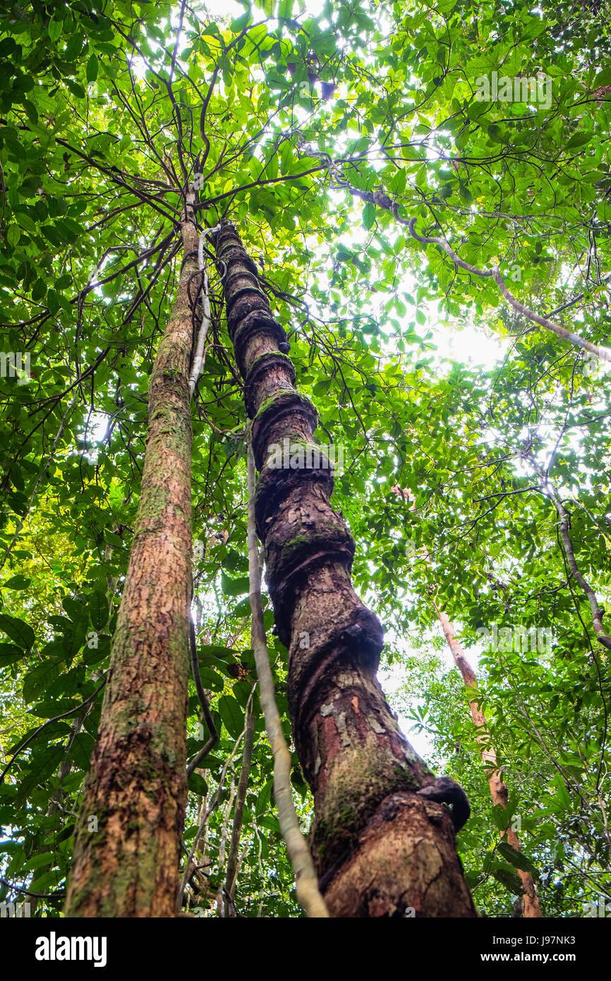 Creeping lianas in the rainforest of Borneo. - Stock Image