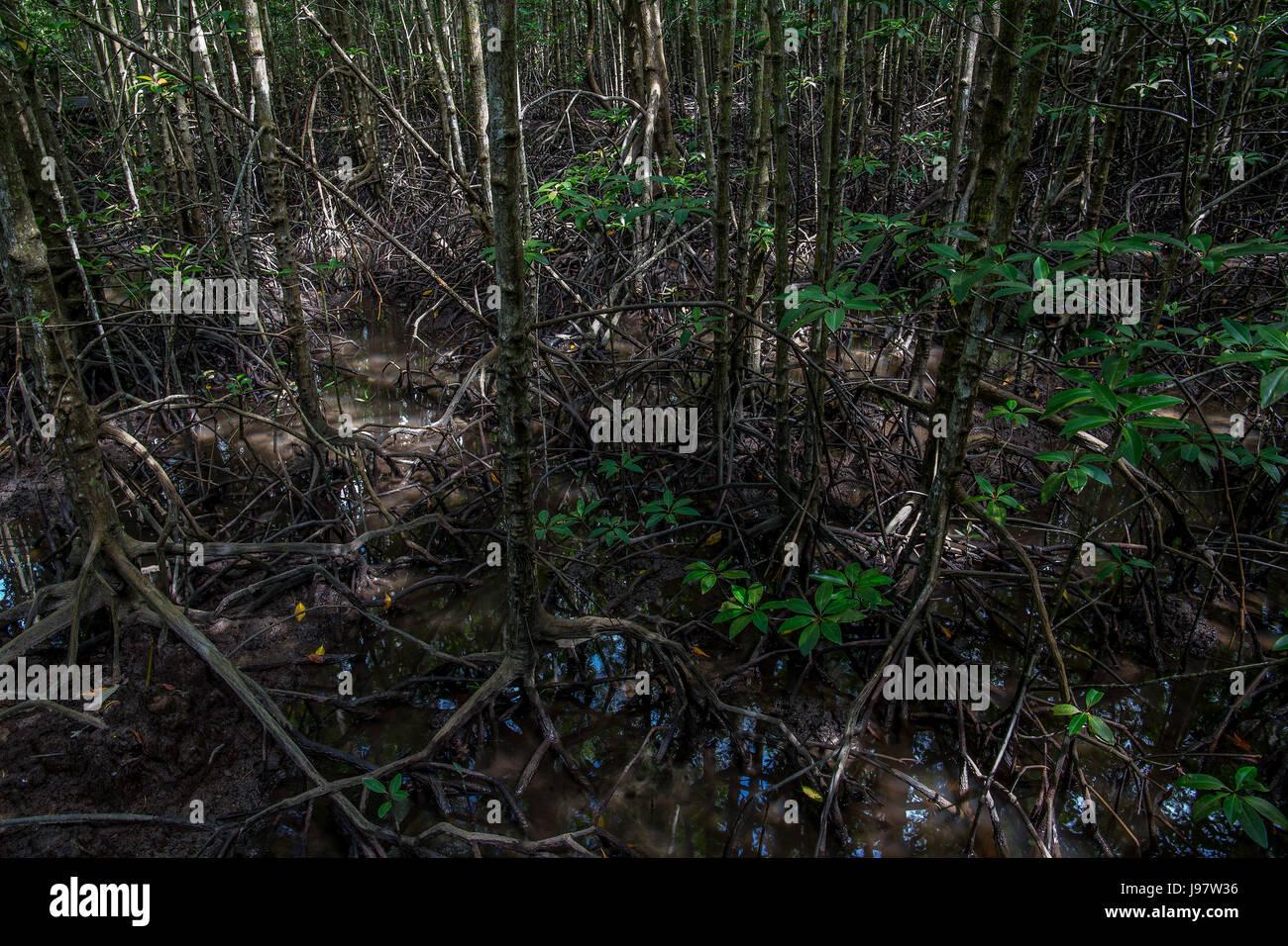 Inside mangrove swamp at Kota Kinabalu Wetland Centre,  Borneo, Sabah, Malaysia. - Stock Image