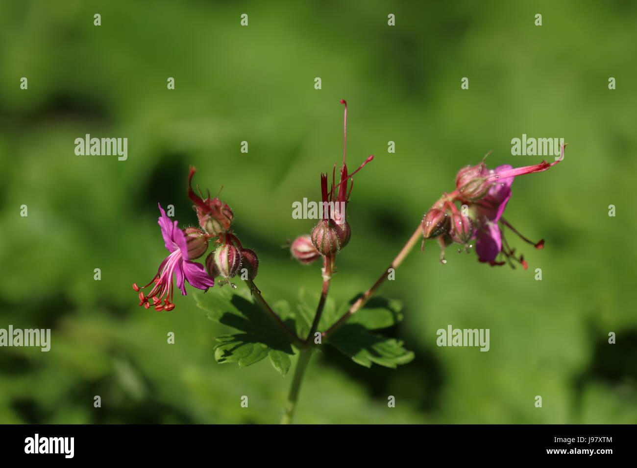 Blühendener Storchschnabel - Stock Image