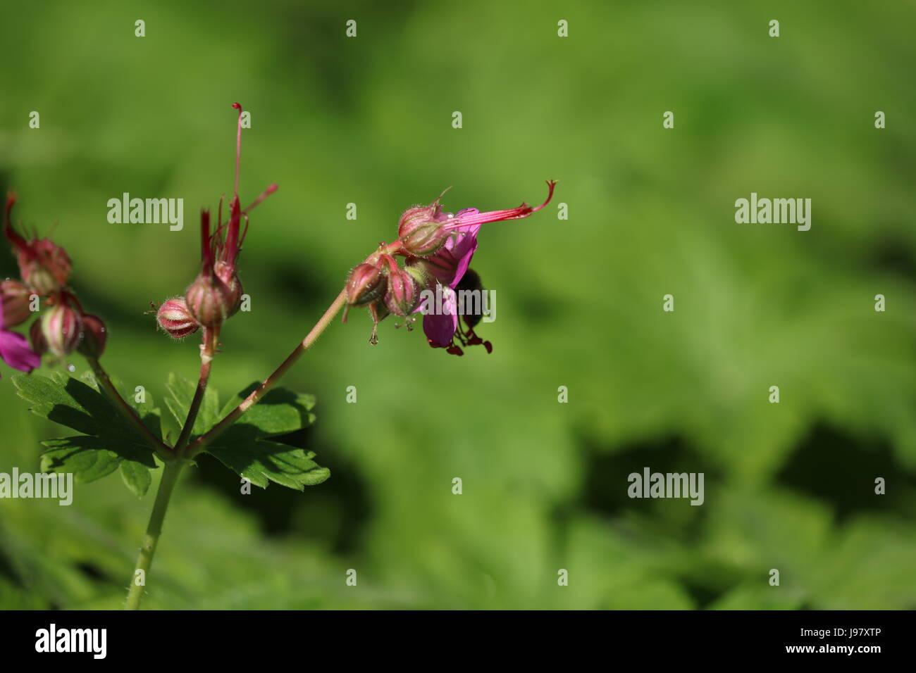 Blühender Storchschnabel - Stock Image
