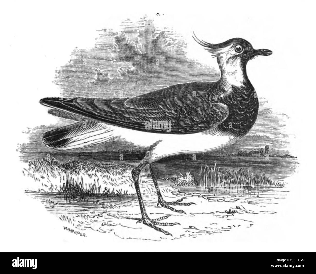 Natural History, Birds   Lapwing - Stock Image