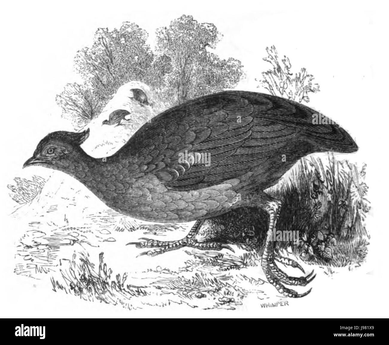 Natural History, Birds   Megapodius - Stock Image