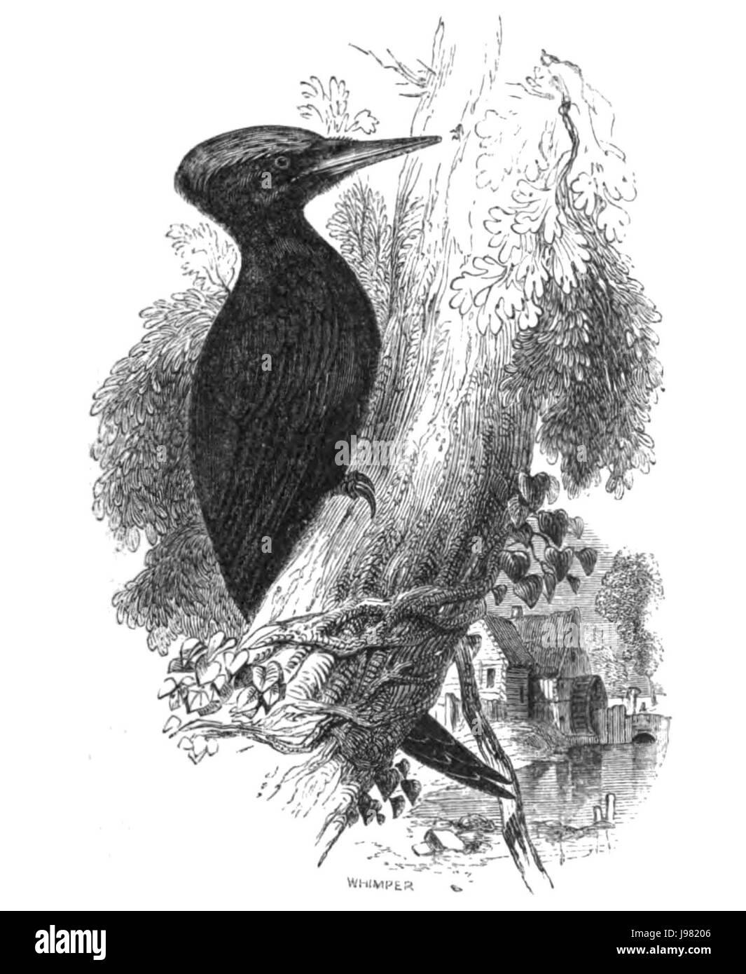Natural History, Birds   Woodpecker - Stock Image