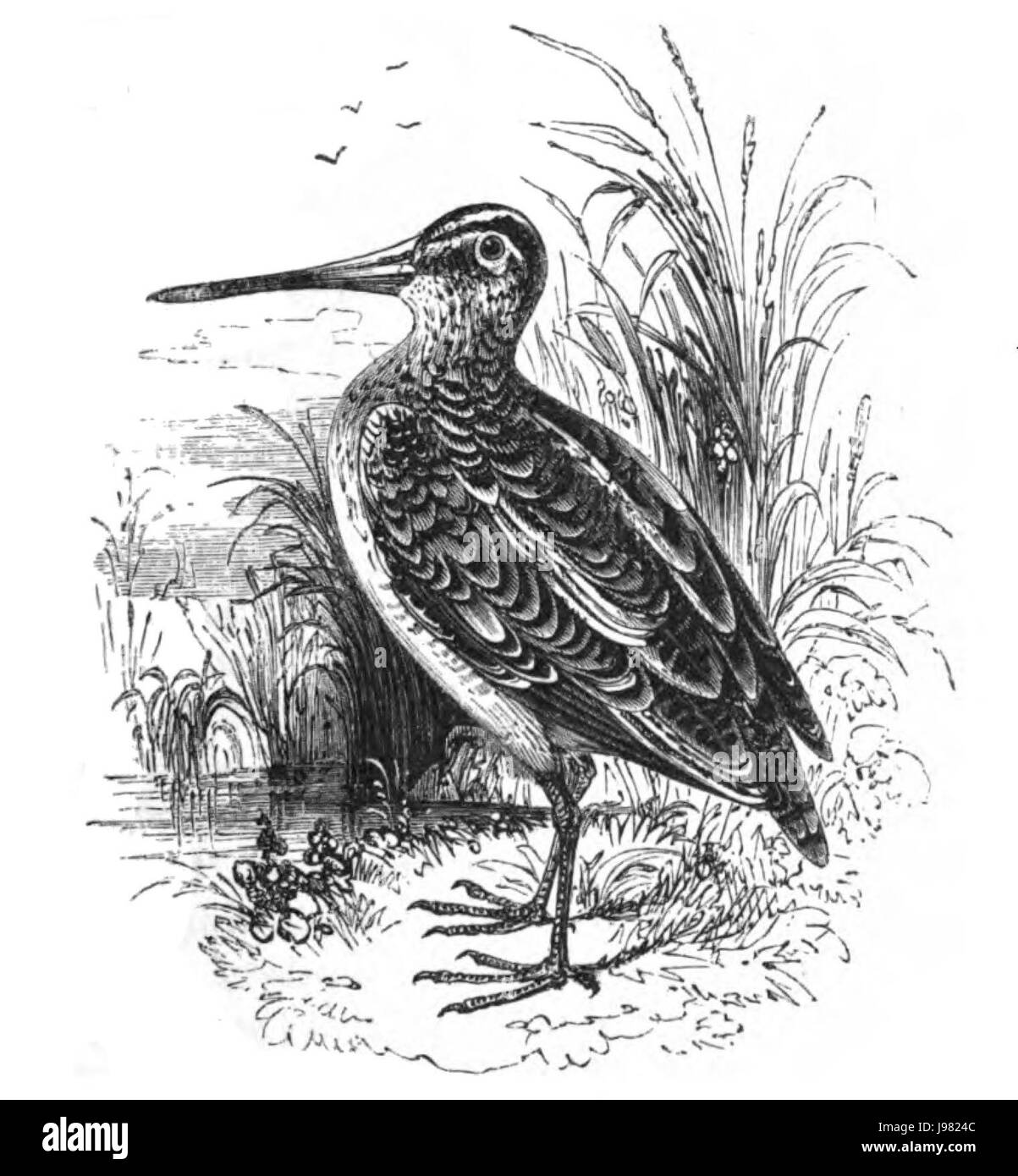 Natural History, Birds   Snipe - Stock Image