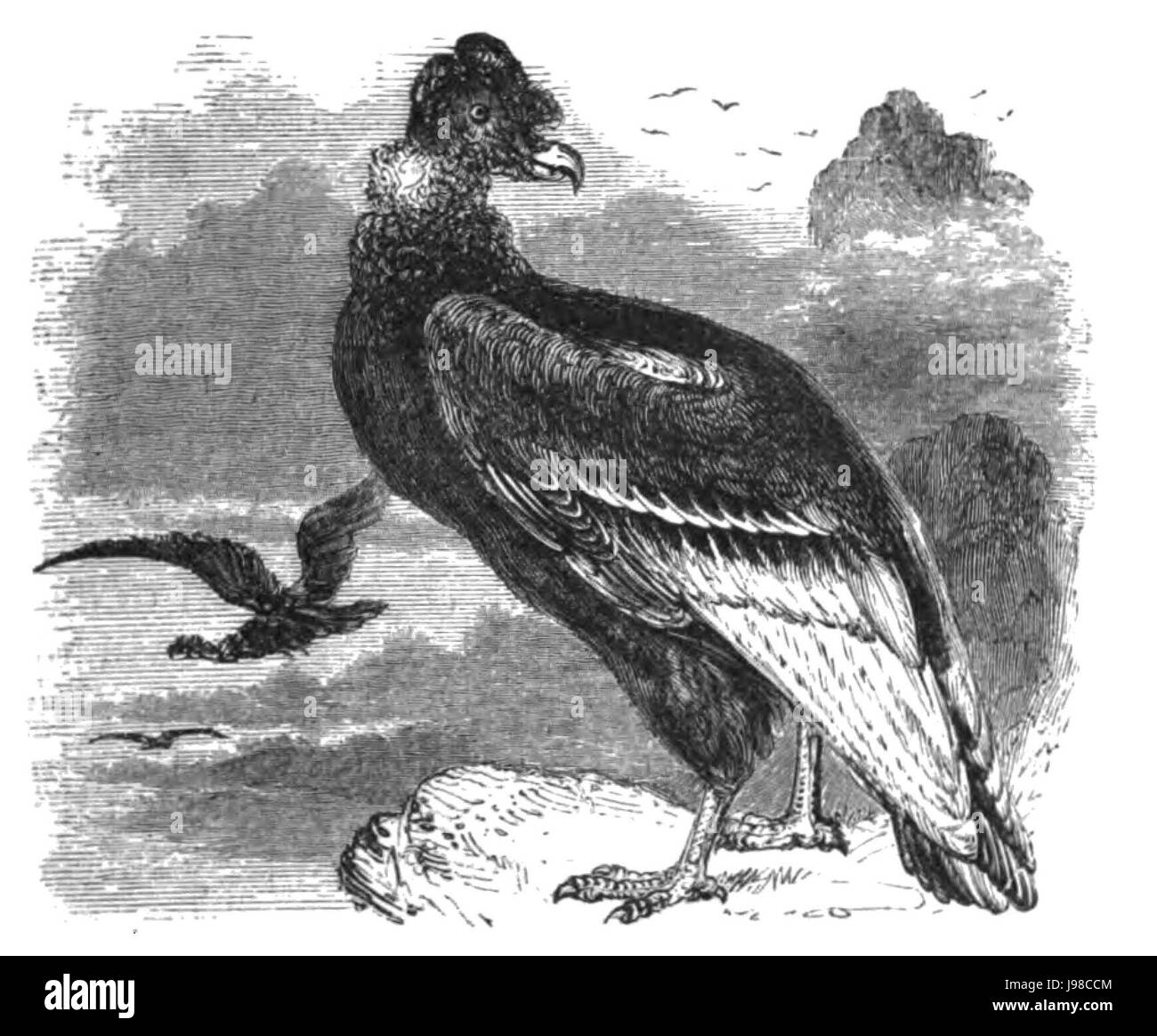 Natural History, Birds   Condor - Stock Image