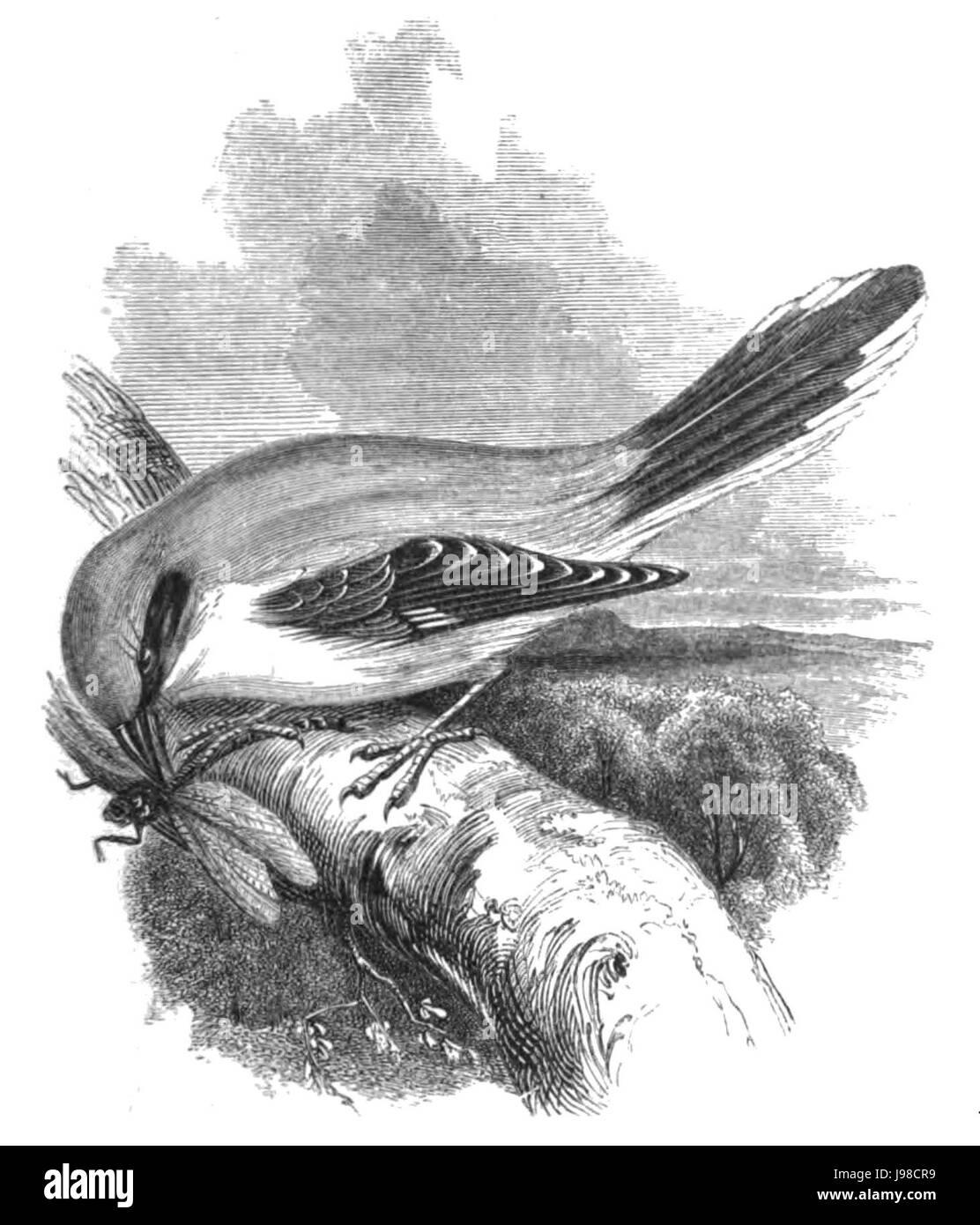 Natural History, Birds   Shrike - Stock Image
