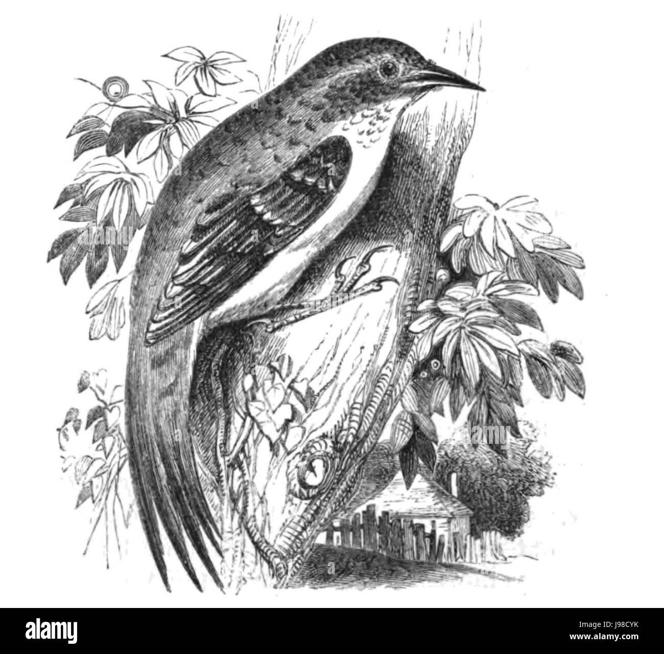 Natural History, Birds   Creeper - Stock Image