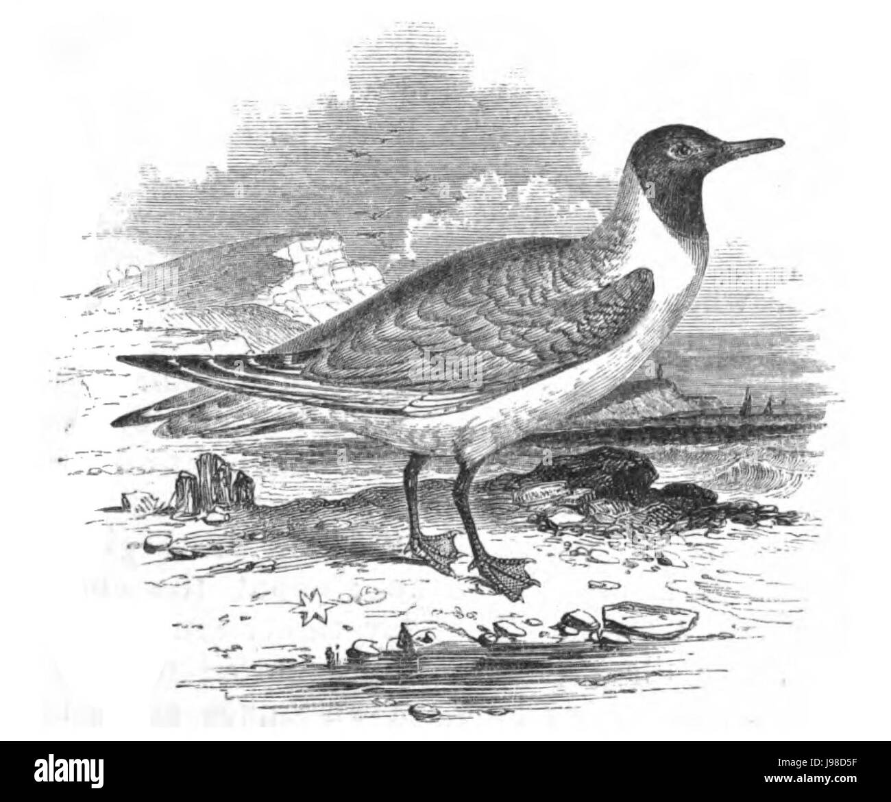Natural History, Birds   Laughing Gull - Stock Image