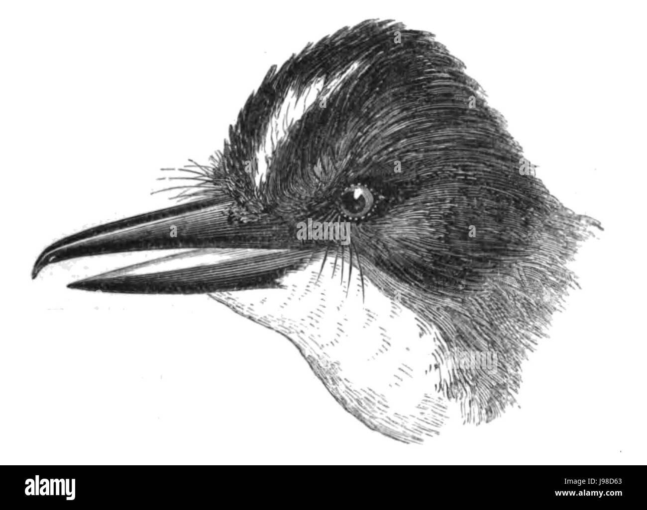 Natural History, Birds   Tyrannus - Stock Image