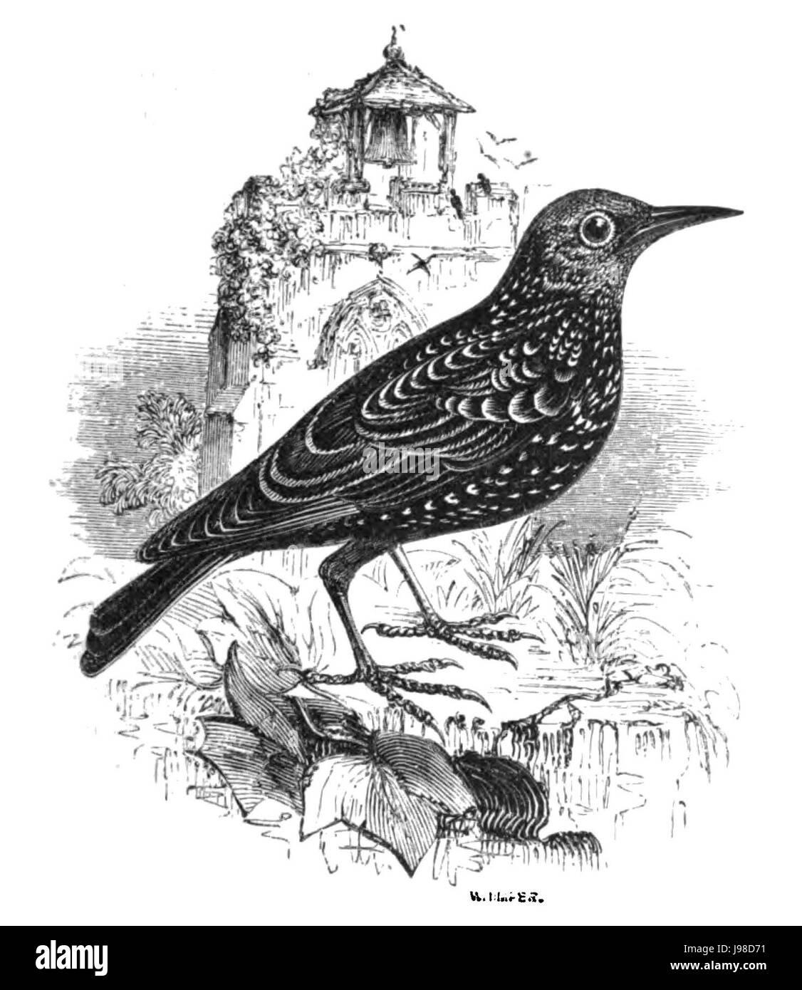 Natural History, Birds   Starling - Stock Image