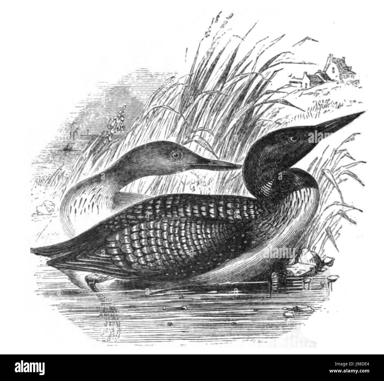 Natural History, Birds   Northern Diver - Stock Image