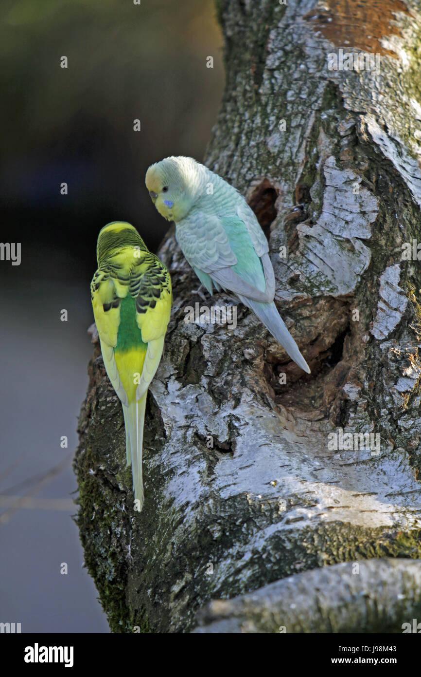 Pet Bird Birds Budgerigar Singing Bird Stock Photos & Pet