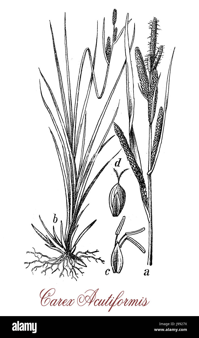 Carex, vintage engraving.Used in natural landscaping, oft in damp and wet conditions Stock Photo