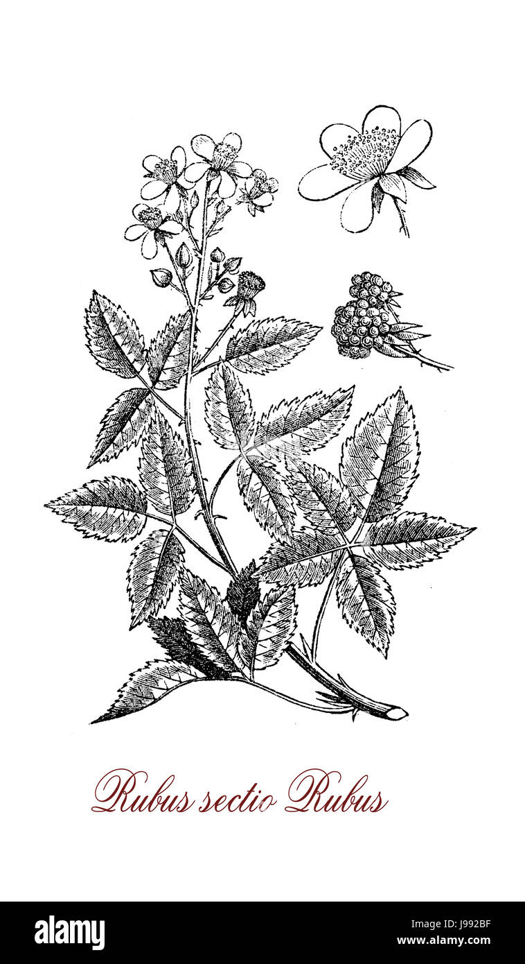 Vintage illustration of blackberry, perennial plant with palmated leaves,very sharp prickles, flowers and edible - Stock Image