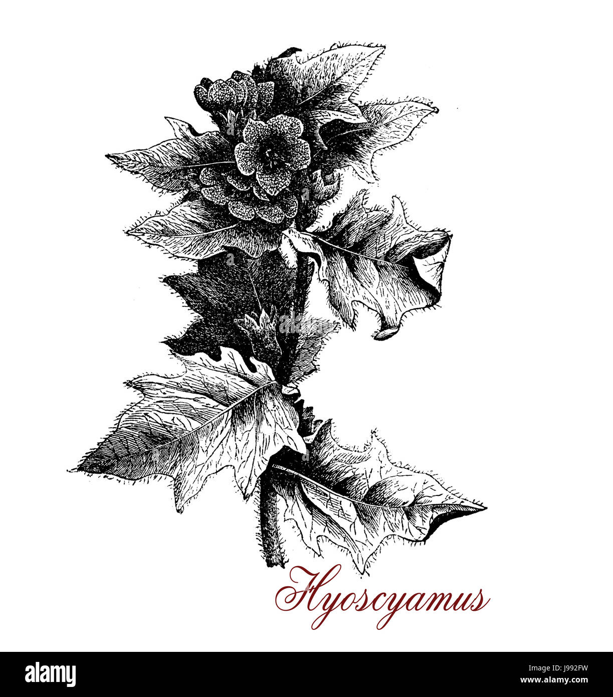 Vintage illustration of Hyoscyamus or henbane,toxic plant used in traditional medicine as anaesthetic  and for beer - Stock Image