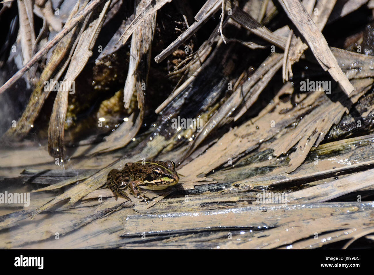 Coruna frog, Perez's Frog (Rana perezi, Rana ridibunda perezi) found submerged in pond water in Porto Santo - Stock Image