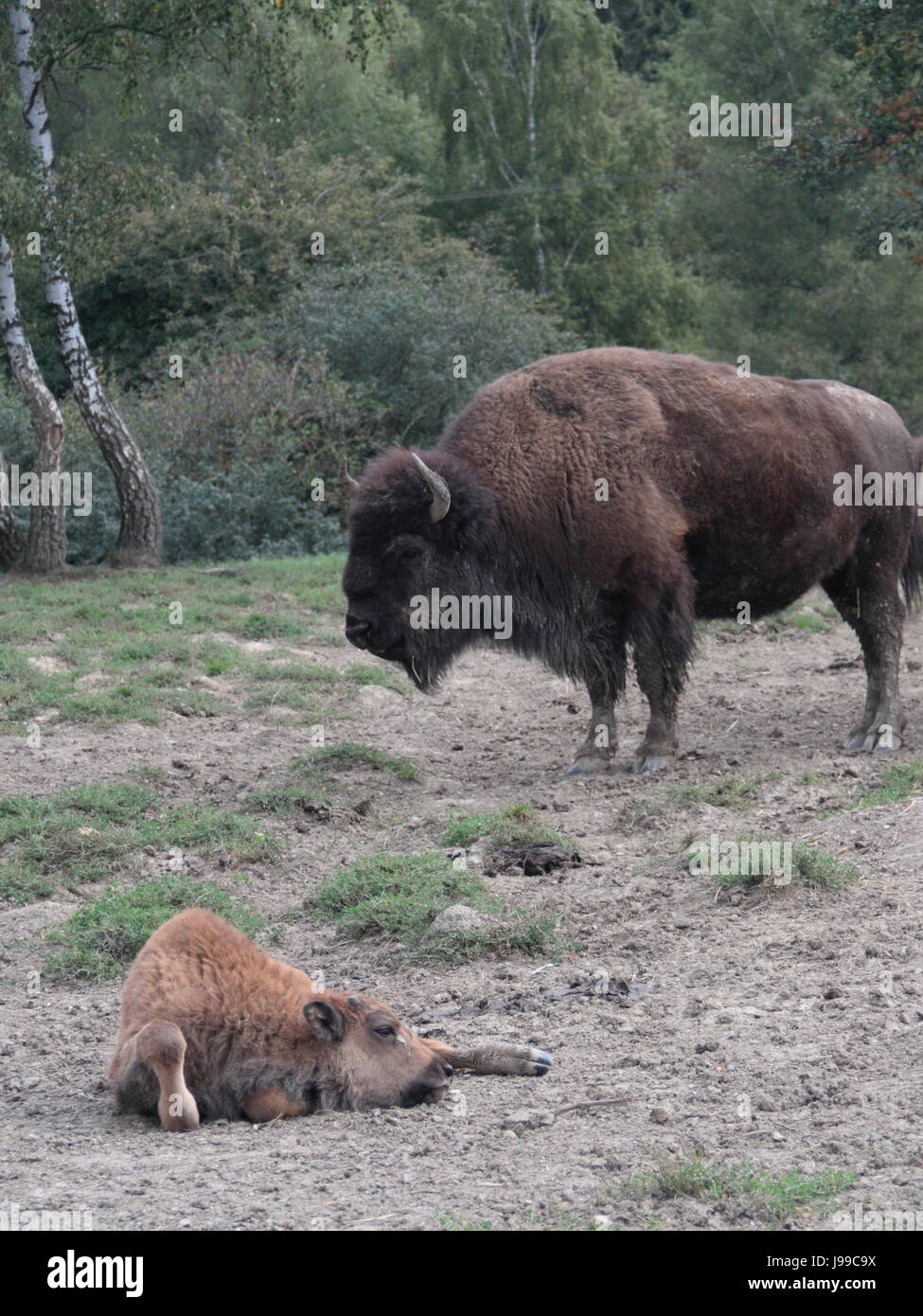 bison - Stock Image