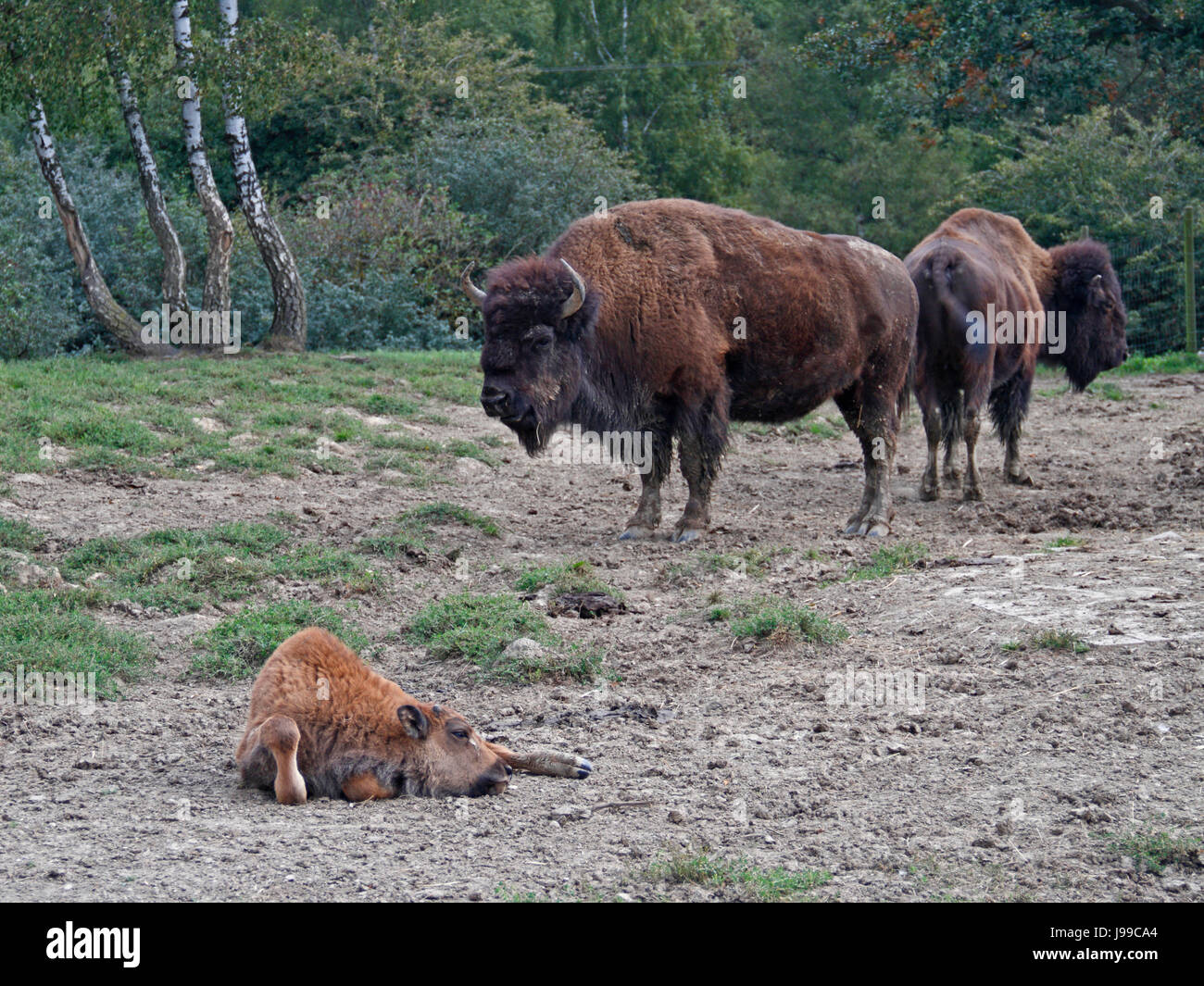 mammals, cattle, bison, animal, mammal, skin, location shot, bovine, captivity, - Stock Image