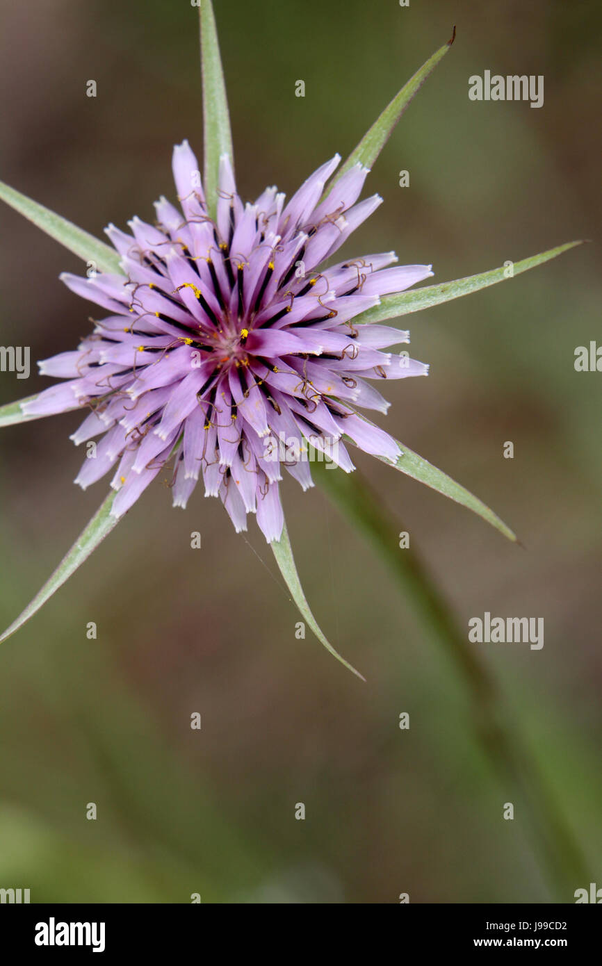 plant, flower, flowers, flora, botany, purple, violet, mediterran, landscape Stock Photo