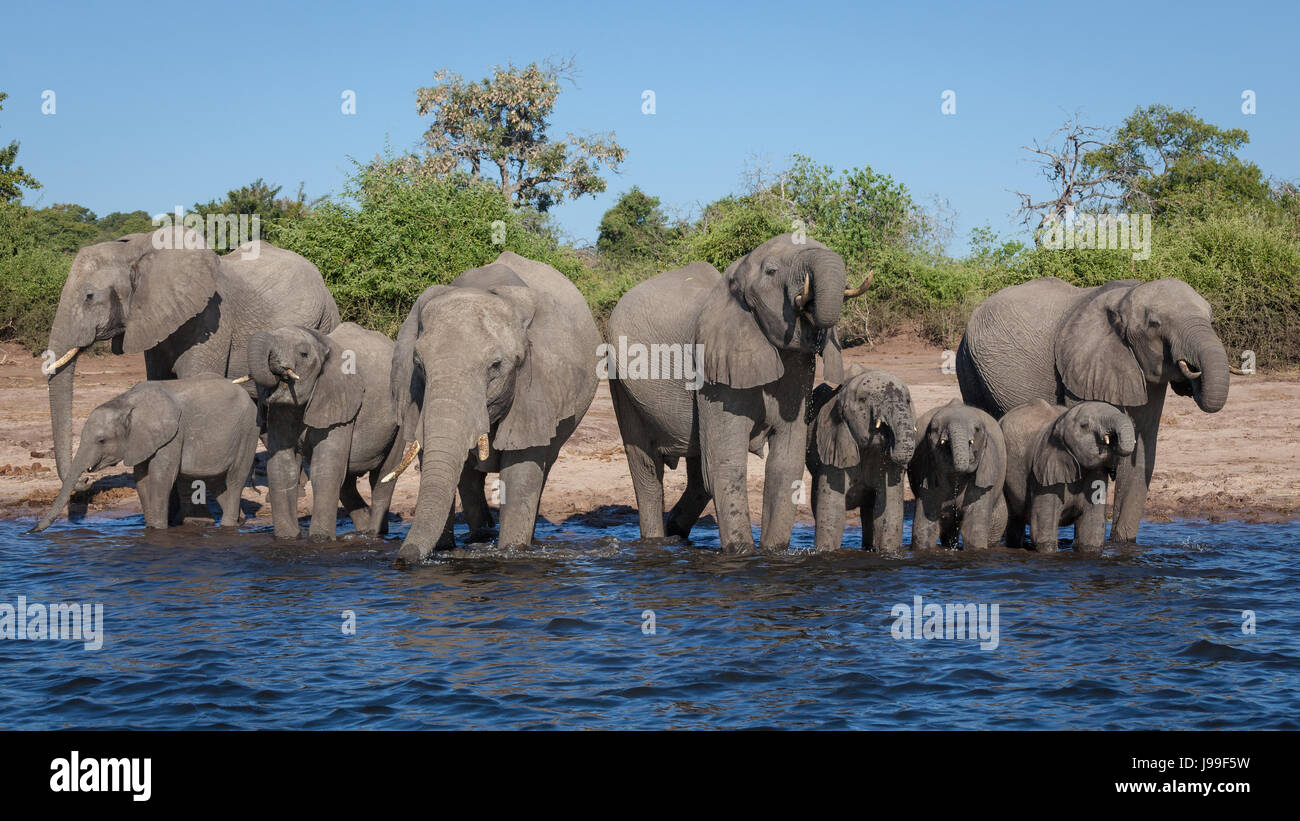 A large family group of elephants rushes down to the river to quench their thirst in the Chobe River, Northern Botswana. - Stock Image