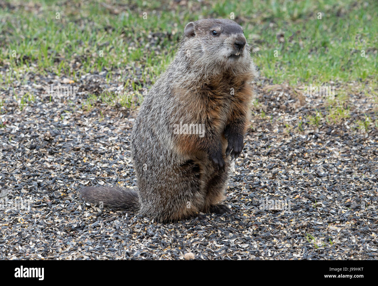 Groundhog (Marmota monax) hunting for food, E USA - Stock Image
