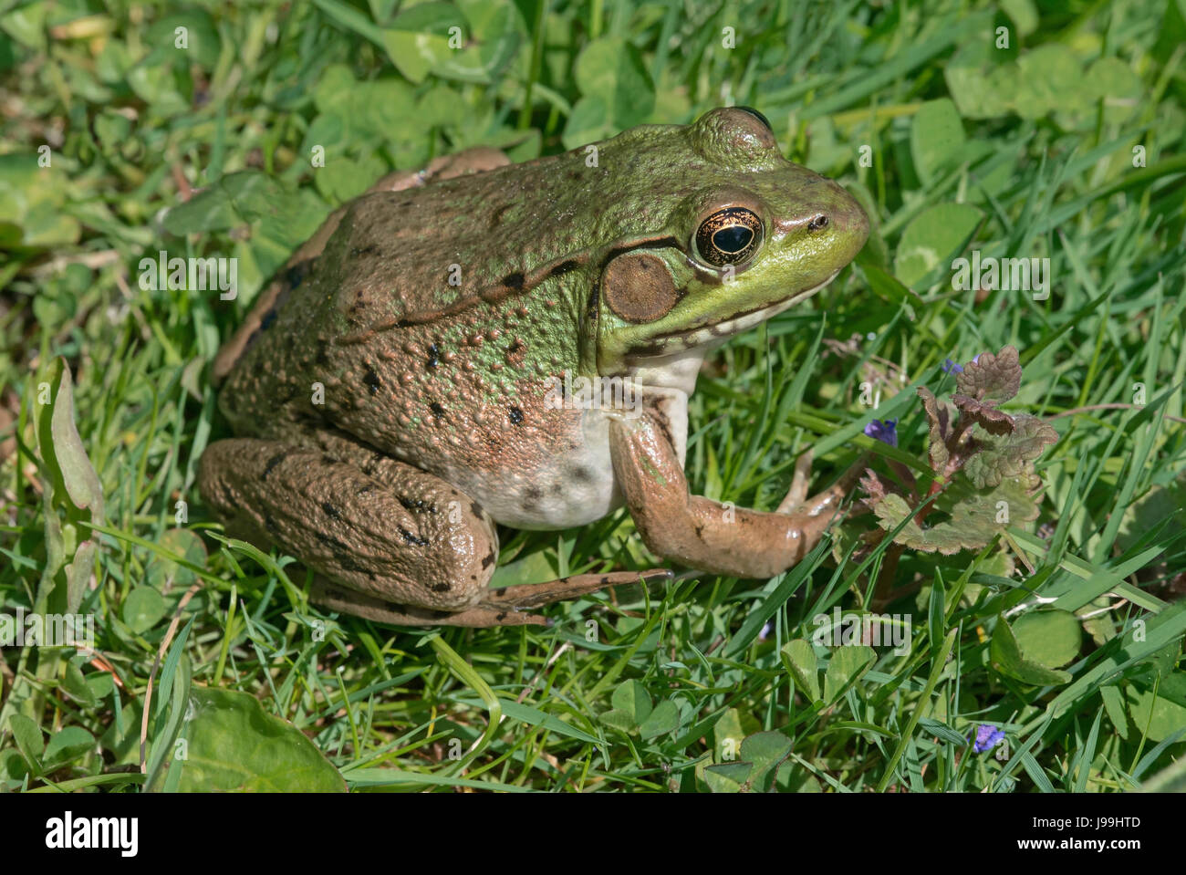 Green Frog (Rana clamitans or Lithobates clamitans), E USA - Stock Image