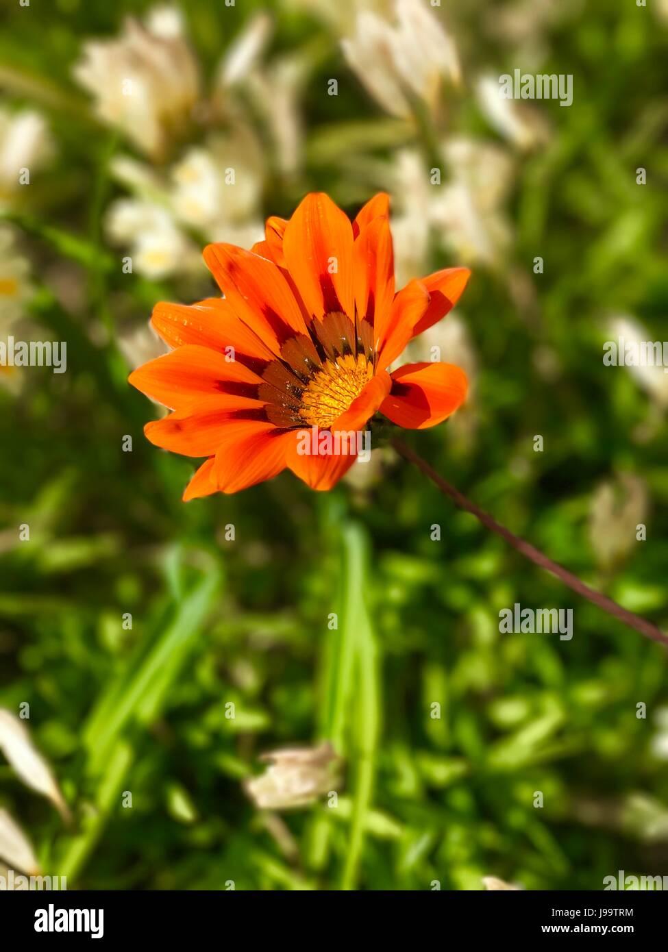 Spring Flower in the Algarve Stock Photo