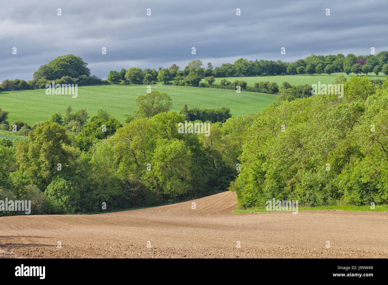 plowed agriculture field between trees and green wheat farmland on a hill in an English countryside . - Stock Image