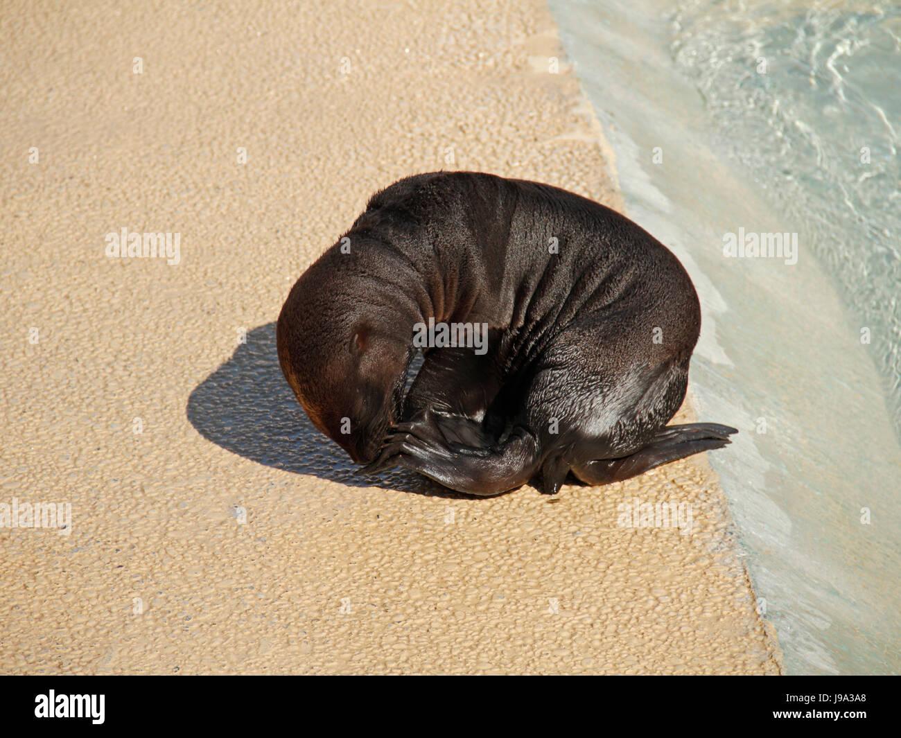 mammals, crawl, sea lion, animal, mammal, brown, brownish, brunette, hunter, Stock Photo