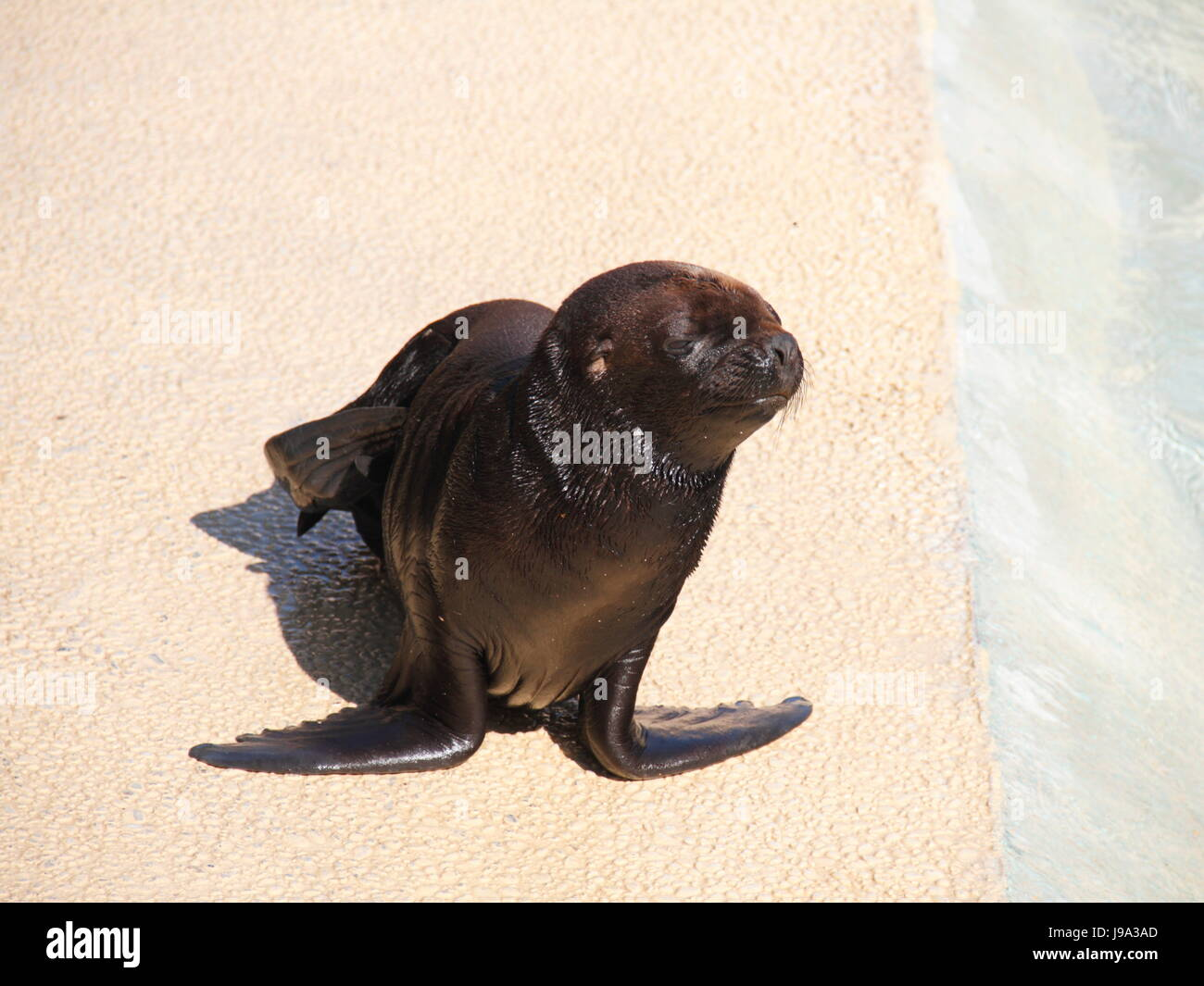 mammals, crawl, sea lion, animal, mammal, brown, brownish, brunette, hunter, Stock Photo