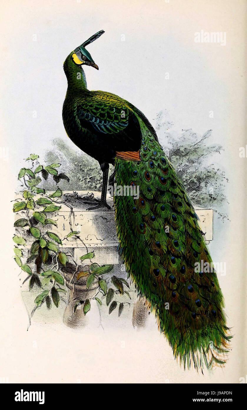 Pavo muticus 1873 - Stock Image