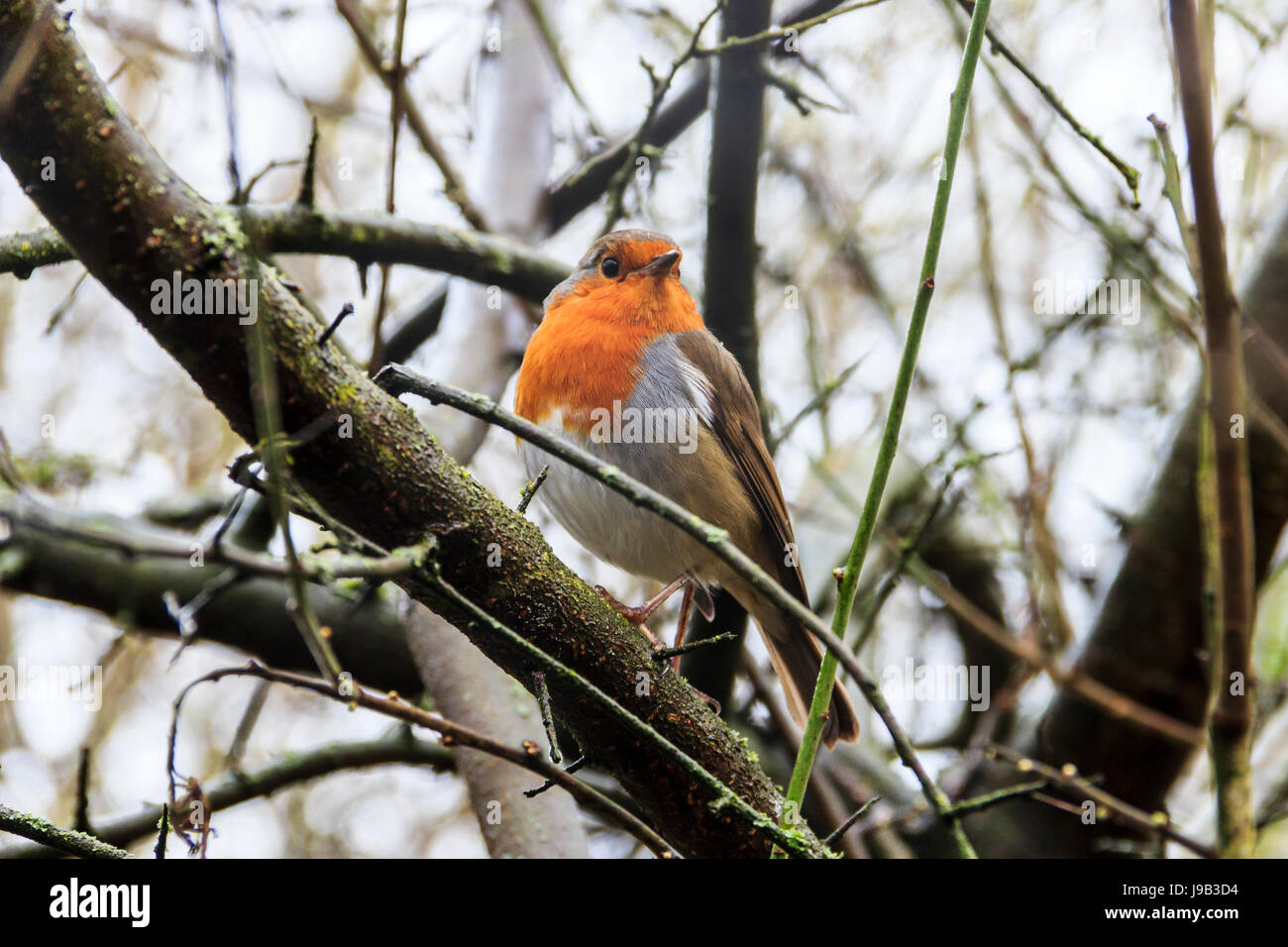 A robin redbreast (Erithacus Rubecula) perched on a branch in a woodland Stock Photo