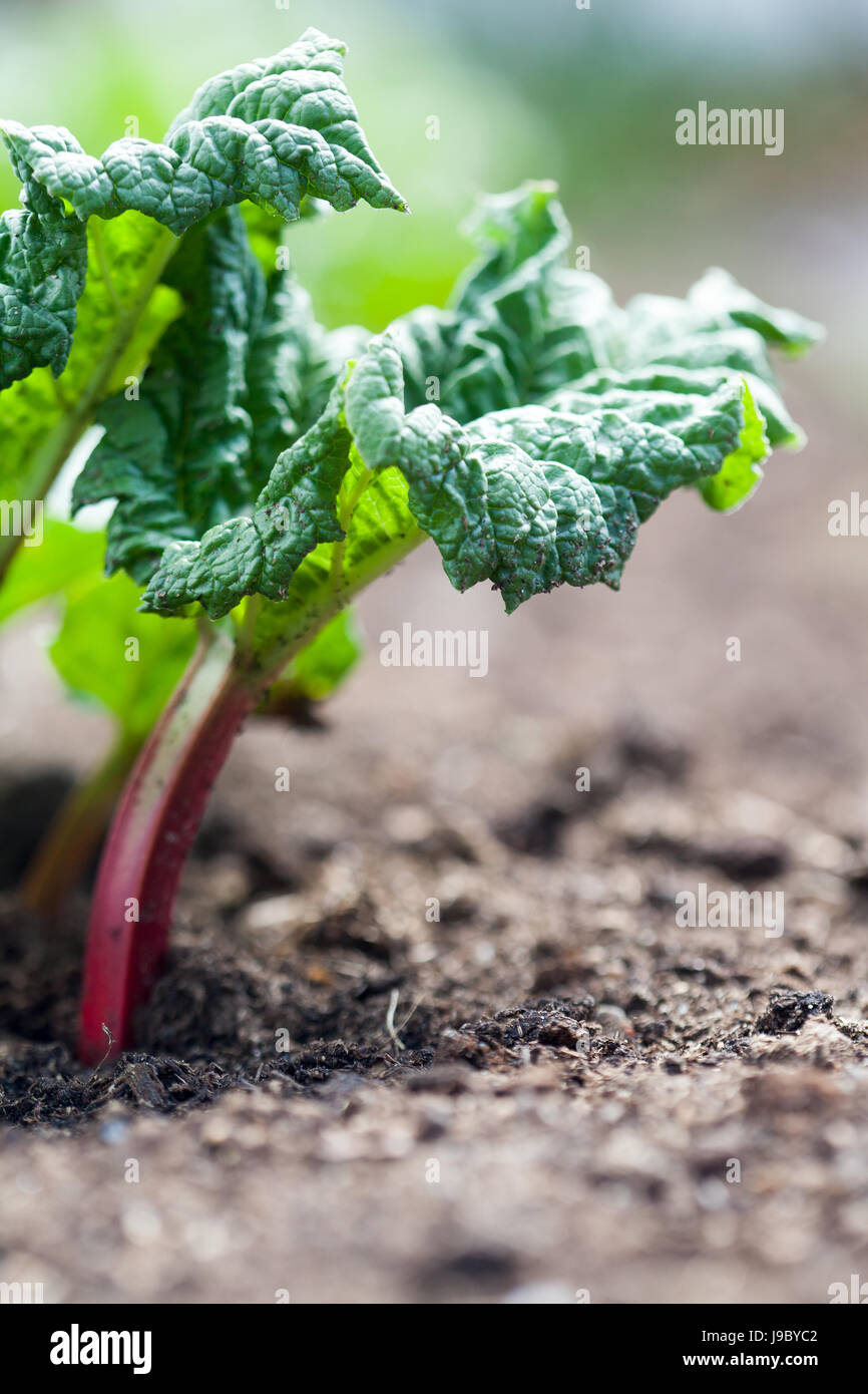 Growing rhubarb in home garden - Stock Image
