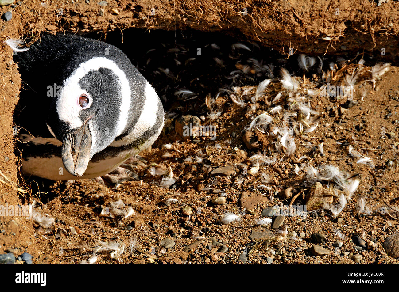 Megellanic Penguins burrowed-in on the Isla Magdalena on 3/14/2014 Stock Photo