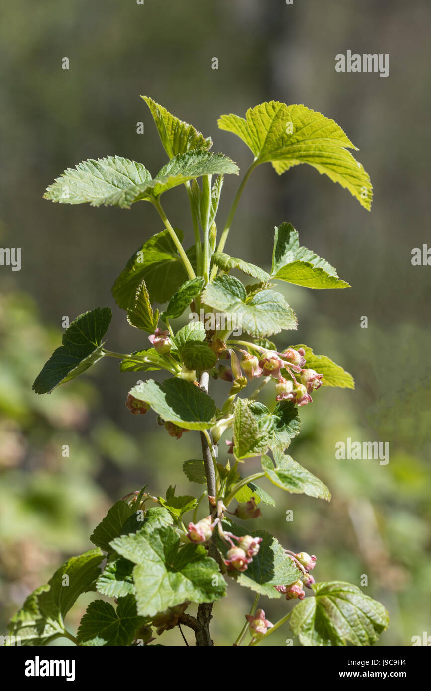 Closeup of a red currant bush with flowers on a twig Stock Photo