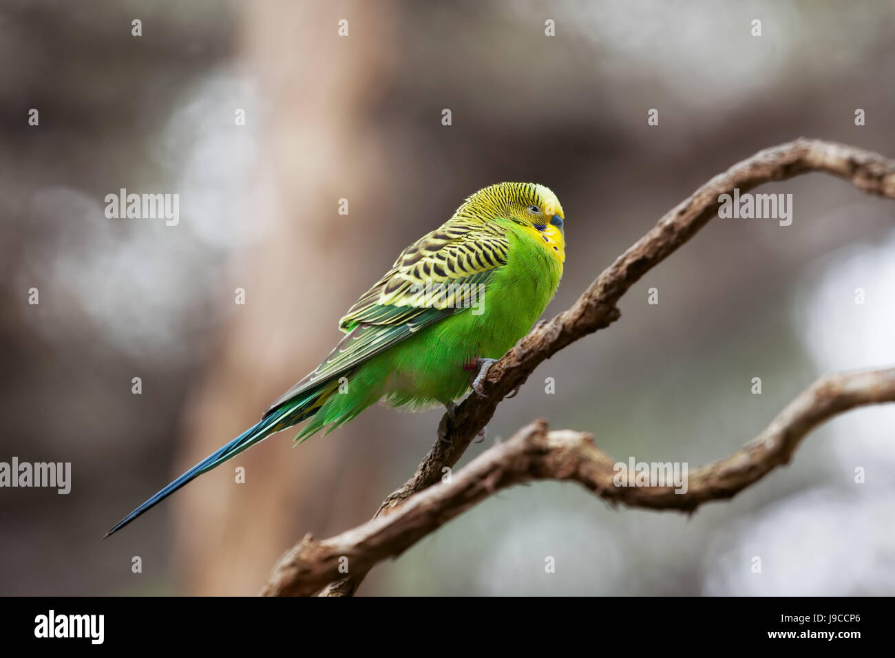 Budgerigar - song parrot perching on tree branch closeup - Stock Image