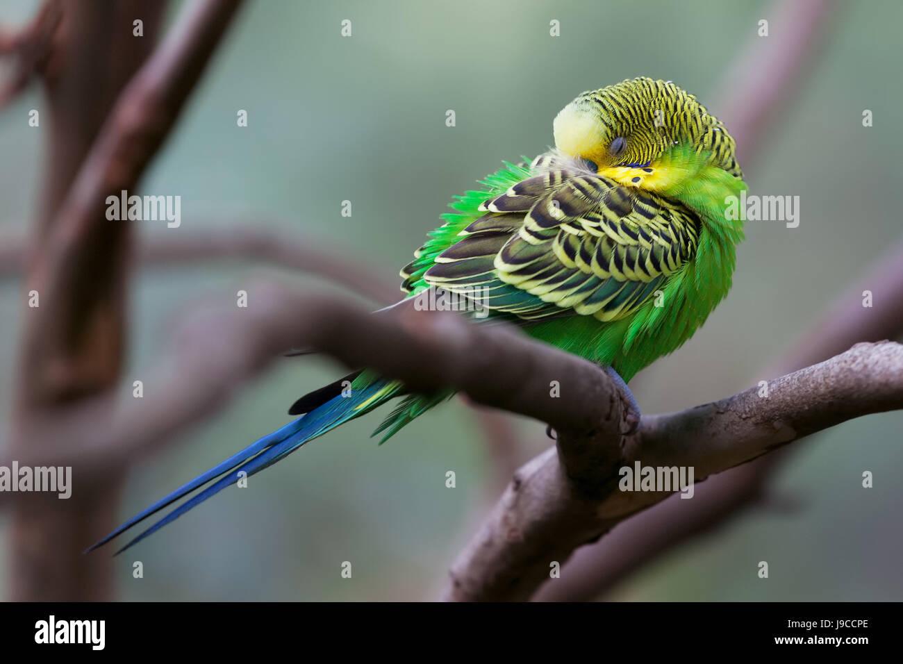 Budgerigar - song parrot perching and sleeping closeup - Stock Image