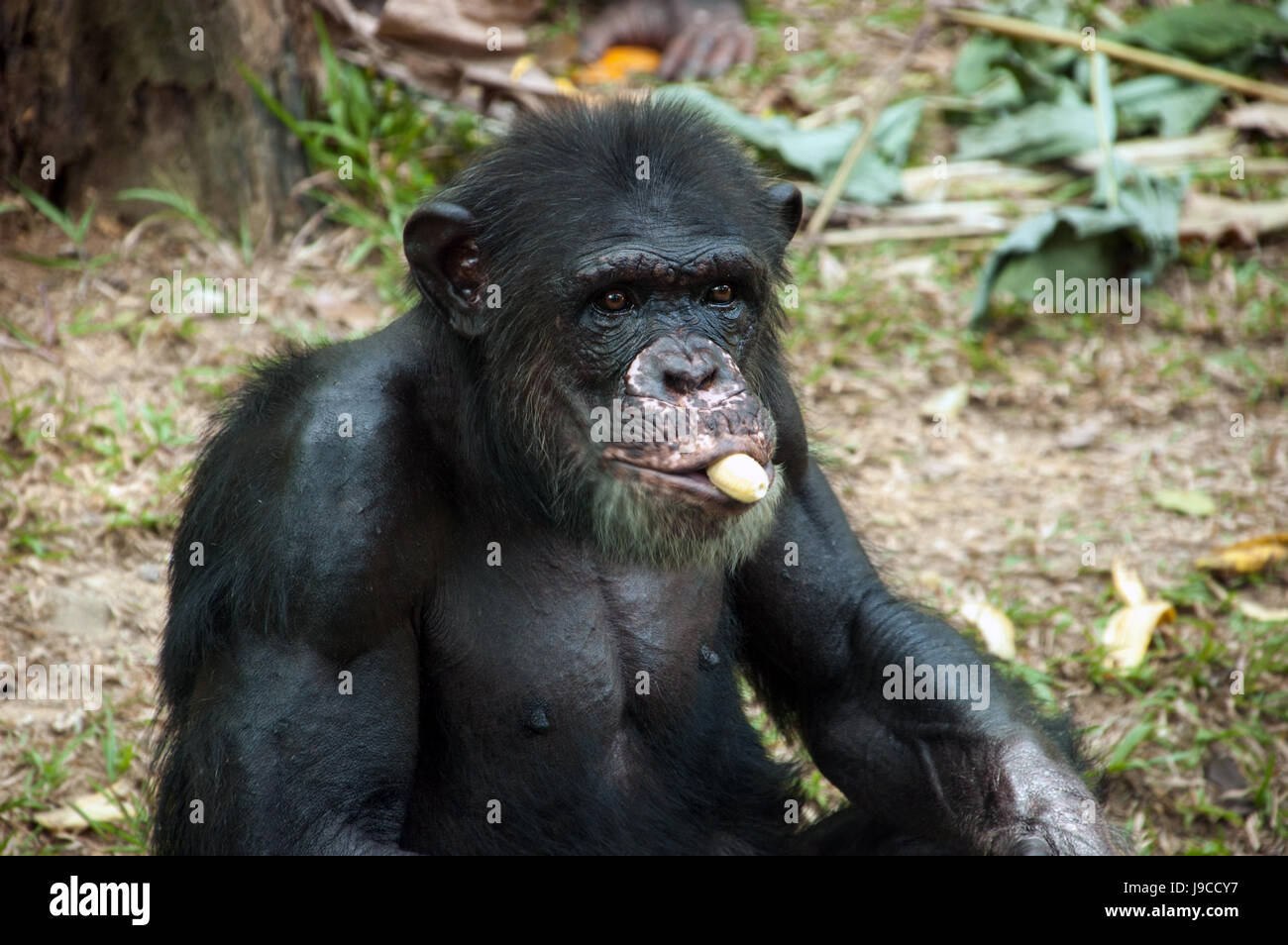 Portrait Of Chimpanzee Eating Banana In Zoo Malaysia Stock Photo