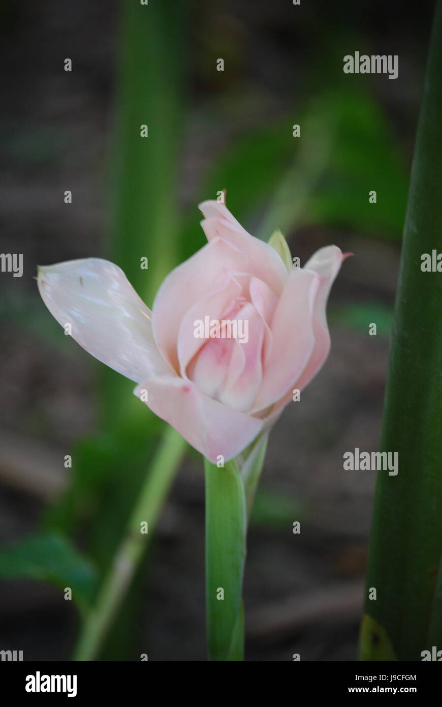 Bud Pink Ginger Flower Stock Photo 143490500 Alamy