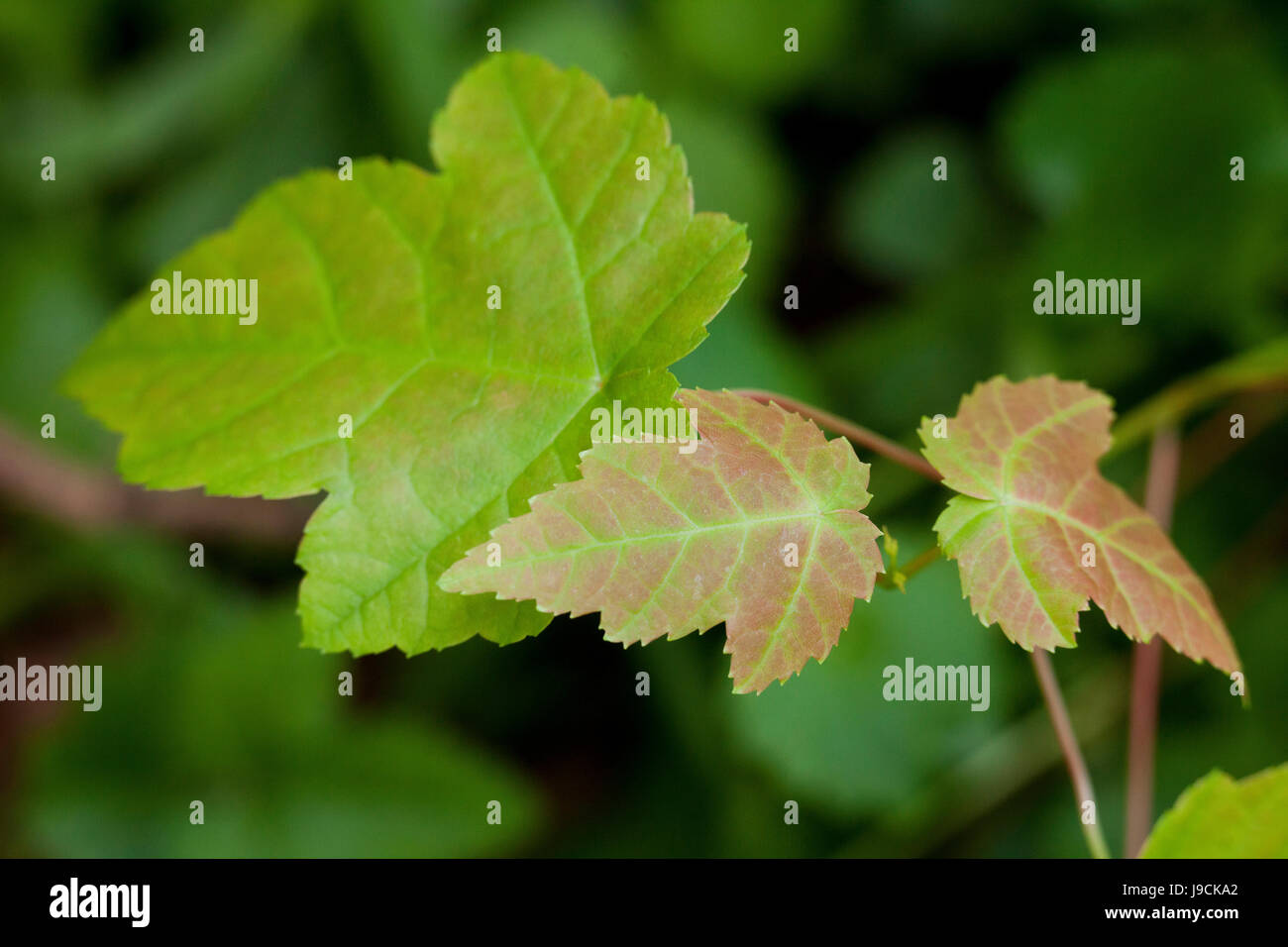 Red maple tree seedling leaves (Acer rubrum) - USA - Stock Image