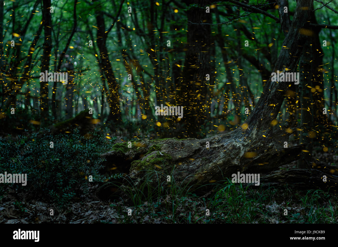 Fireflies/ Night in the forest with fireflies - Stock Image