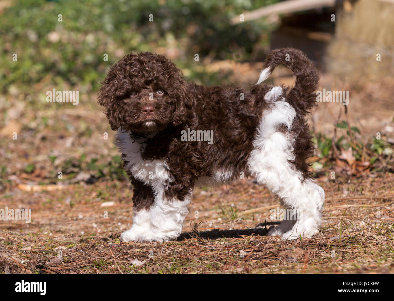 Brown Cockapoo Stock Photos & Brown Cockapoo Stock Images